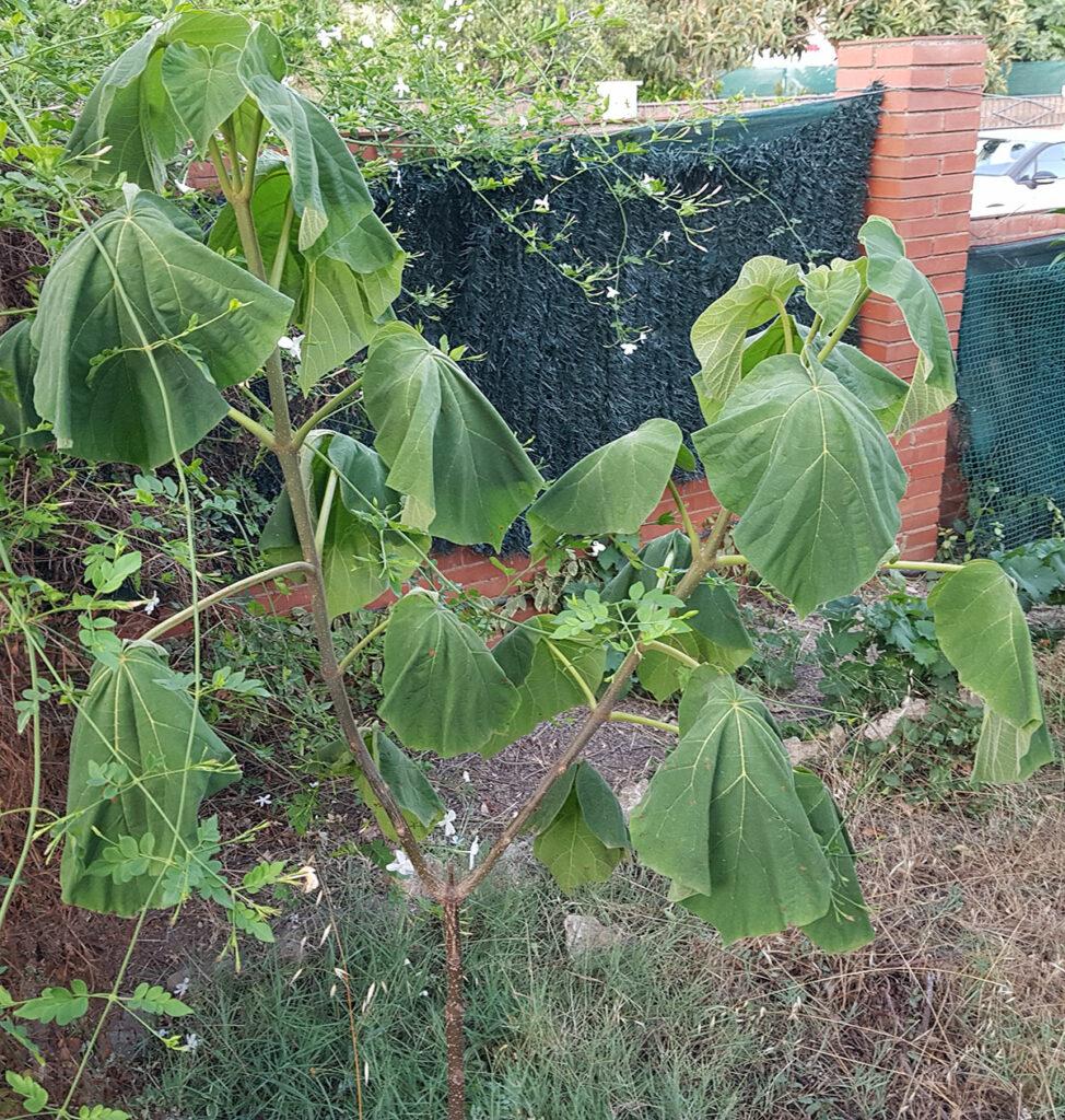 paulownia-estres-hidrico